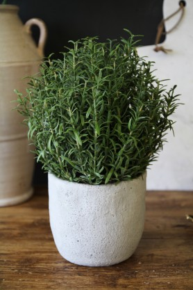 Rosemary Bush In Grey Cement Pot