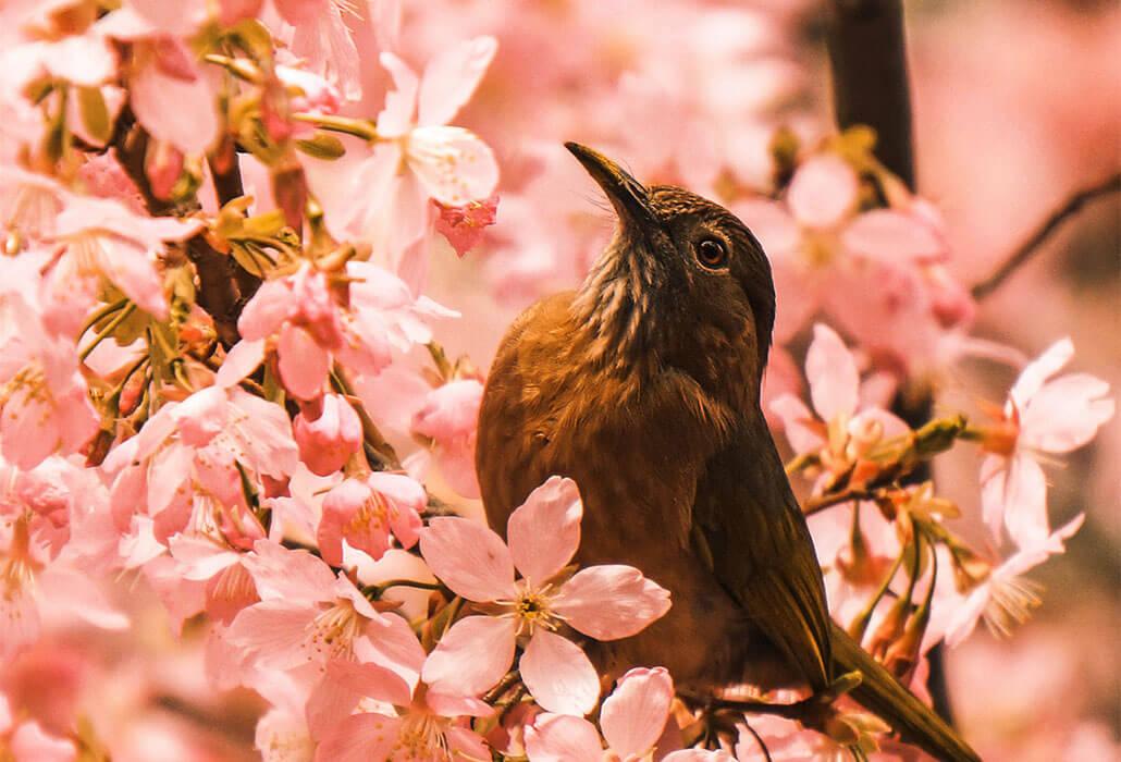 uk-blossom